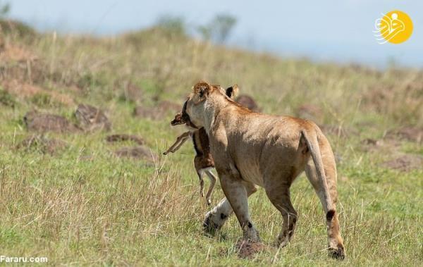 (عکس) شکار بچه غزال توسط شیر ماده