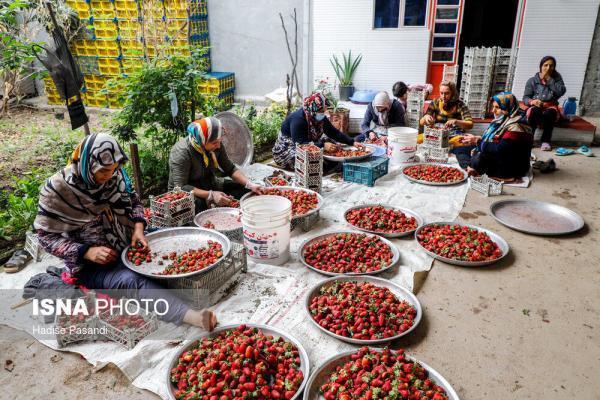 تصاویر، برداشت توت فرنگی در شمال کشور